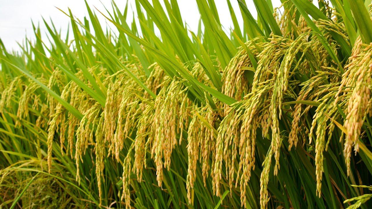 Kỳ vọng xuất khẩu gạo tăng vào quý cuối của năm 2021